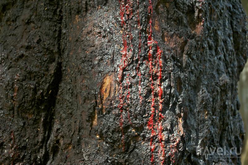 «Кровоточащее дерево» в ботаническом саду Пампльмус на Маврикии / Фото с Маврикия