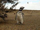 Магелланов пингвин / Аргентина