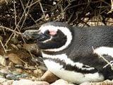 Пингвин жмурится / Аргентина