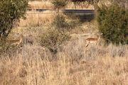 Первые антилопы / ЮАР