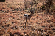 Антилопа импала / ЮАР