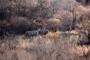 Белые носороги / ЮАР