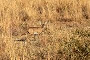 Карликовая антилопа / ЮАР