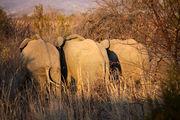 Слоны в гуще кустарника / ЮАР
