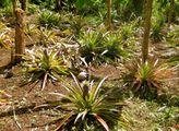 Растут ананасы / Вануату