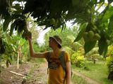 Манго на дереве / Вануату