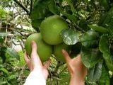 Урожай грейпфрутов / Вануату