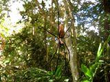 Паук в паутине / Вануату