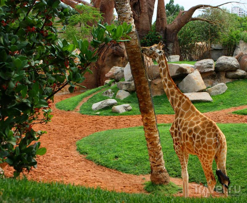 """Жираф в """"Биопарке"""" Валенсии, Испания / Фото из Испании"""