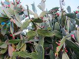 Цветущие кактусы / Мозамбик