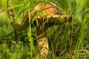 Большой гриб в траве / Финляндия