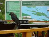 Ворона на столе в кафе / Россия