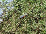 Разнооцветные птички / Бразилия