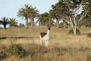 Лама в резервации / Уругвай