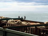 Овцы на пароме / Чили