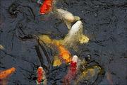 Рыбы в пруду / Нидерланды