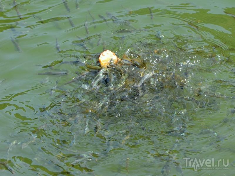 Рыба в Черепашьем озере, Грузия / Фото из Грузии