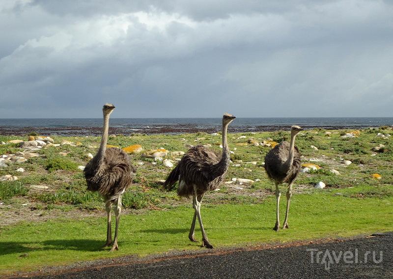 Три страуса / ЮАР