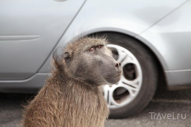 Сонный бабуин / ЮАР