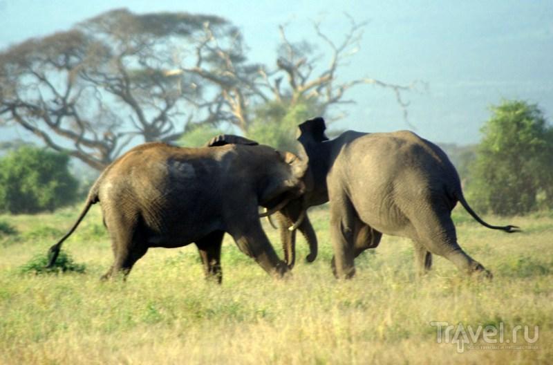 Самцы сражаются / Замбия
