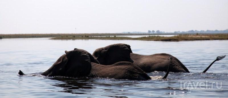 Плывующие слоны / Замбия