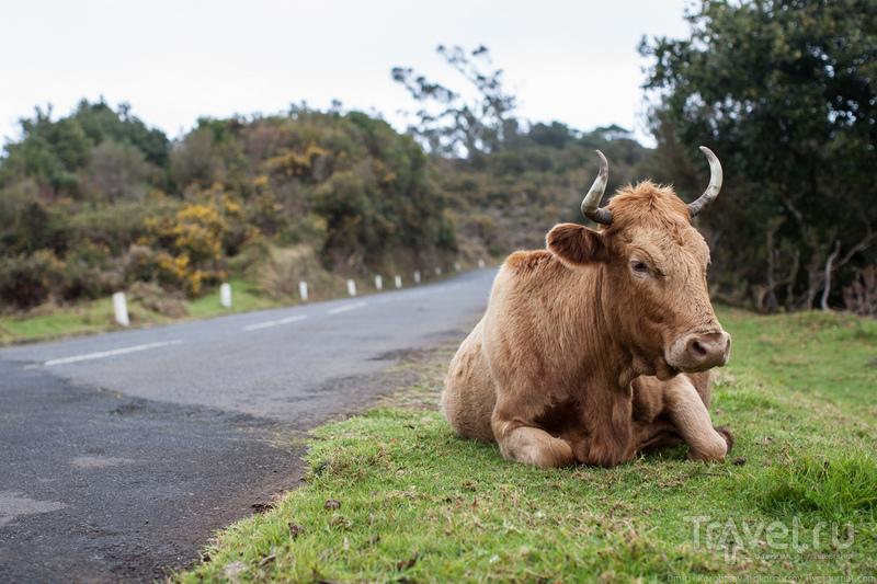 Корова на обочине / Португалия