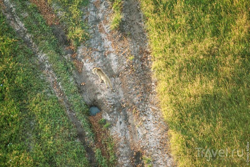 Гепард в национальном парке Масаи-Мара, Кения / Фото из Кении