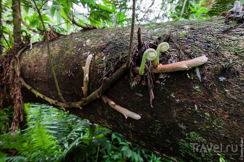 Дерево на острове Косрае, Микронезия / Фото из Микронезии