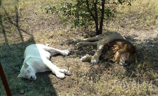 Огромные кошки / Украина