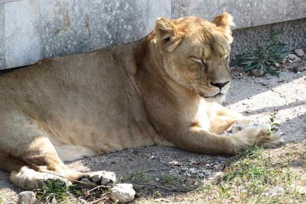 Львица на отдыхе / Украина
