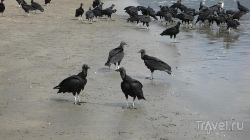 Птицы на пляже / Бразилия