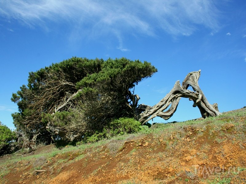 Деревья причудливых форм на острове Иерро / Испания