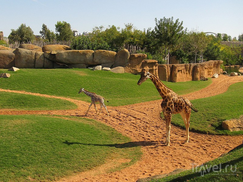 В секторе Саванна живут жирафы / Испания