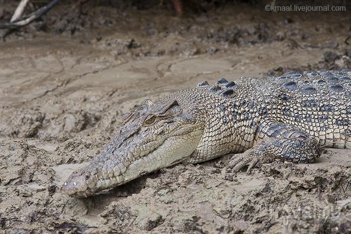 Пятилетний гребнистый крокодил / Австралия