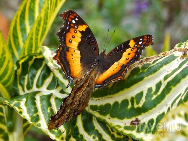 Пара бабочек / Мадагаскар