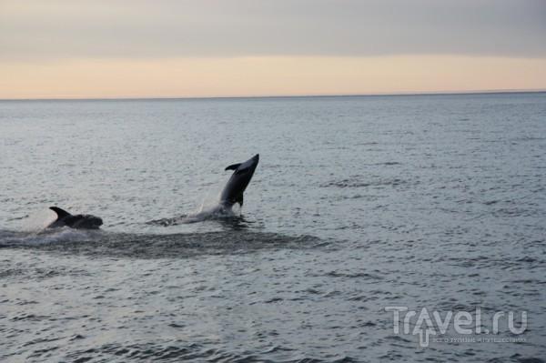 Серые дельфины / Исландия