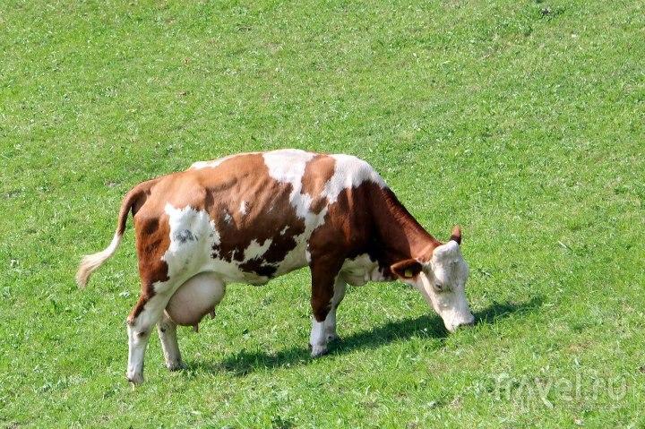 Альпийская корова / Австрия