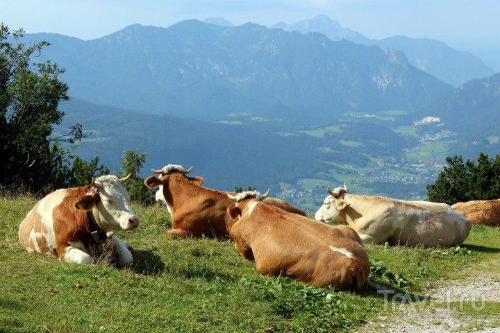 Коровы на лугу / Австрия