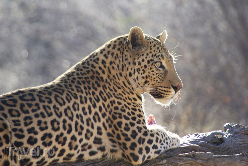 Леопарды / Ботсвана