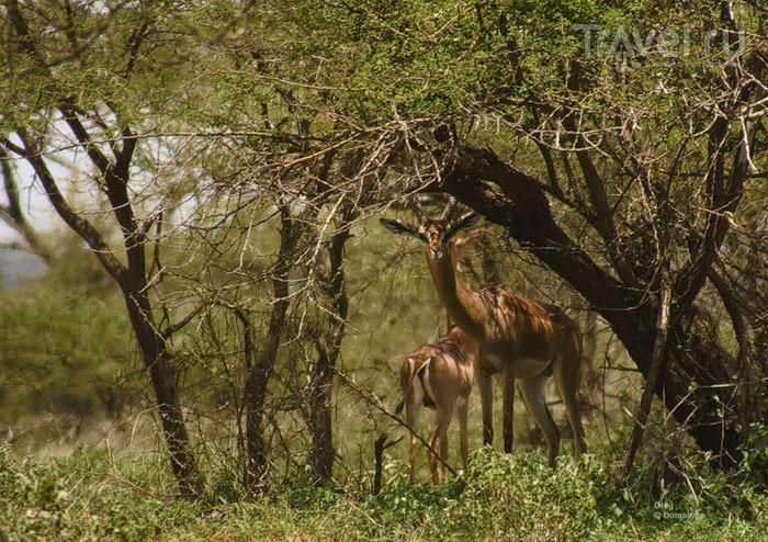 Национальные парки Кении: Амбосели, озеро Накуру, озеро Найваша и Масаи-Мара / Фото из Кении