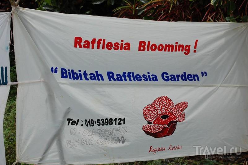 Раффлезия / Малайзия