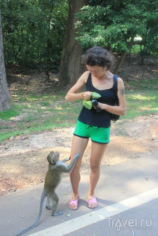 Камбоджийские обезьяны / Камбоджа