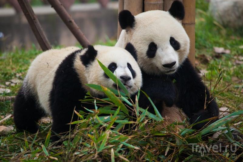 Ченду - город, в котором живут панды! / Китай