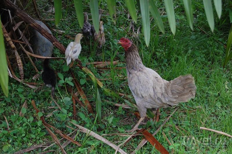 Сабах. Чайная плантация / Малайзия