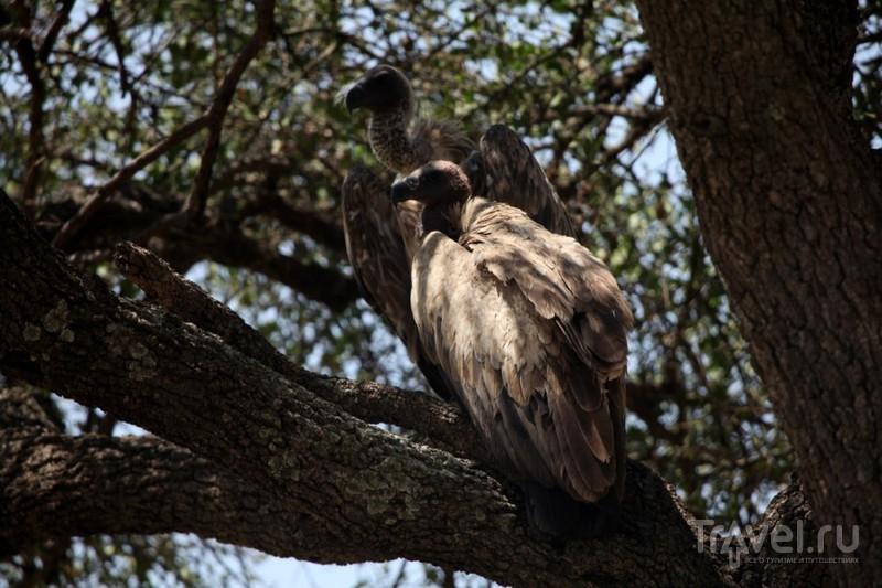 Африканские птицы-падальщики - грифы и марабу / Кения