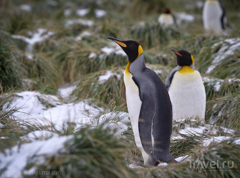 Хоть жил он всегда среди снега и льда, ангиной пингвин не болел никогда... / Фолклендские острова