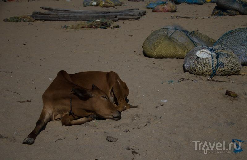 Священная корова / Фото из Индии