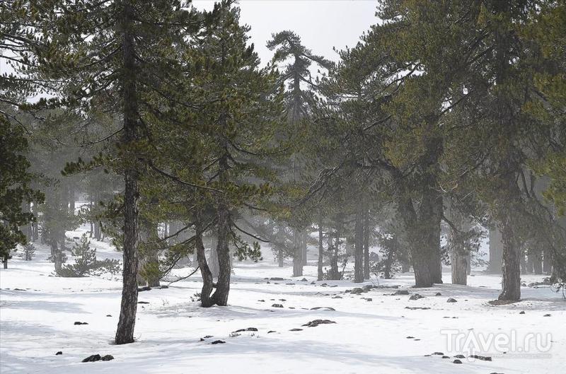 Кедры в снегу на вершине горы Олимпос / Фото с Кипра