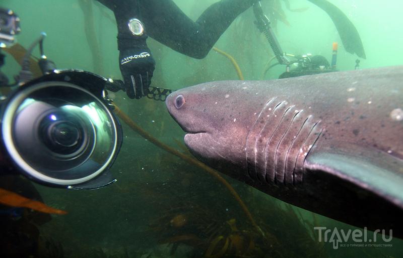 В окружении Коровьих (Семижаберных) акул. Кейптаун / ЮАР