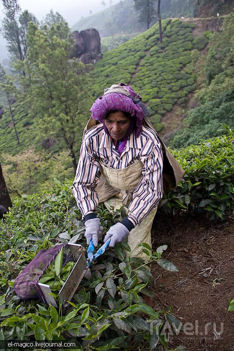 Муннар: прогулка в облаке, работники чайных плантаций и сандаловые деревья / Фото из Индии